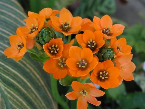 Ornithogalum dubium 'Chesapeake Blaze' Sunshine Lily WalMart 4 5 05