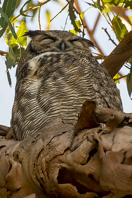 295/365  Great Horned Owl