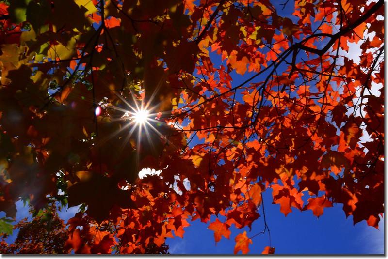 2017 Maple in Fall, Boulder, Colorado  (2)