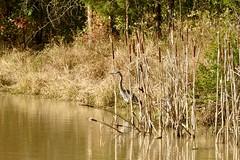 Great Bue Heron, Virginia