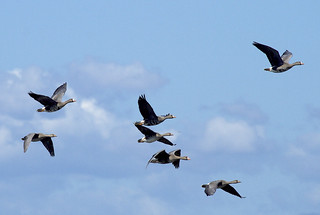 Greater White-fronted Goose (Anser albifrons frontalis)
