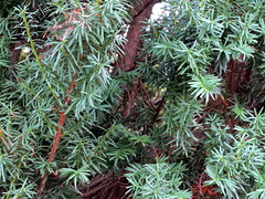 Pine Branches.