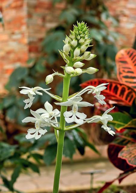Calanthe triplicata 5322-1; Orchidaceae (1)