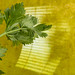 annick vanderschelden posted a photo:Celery leaves. Yellow background with light effect.