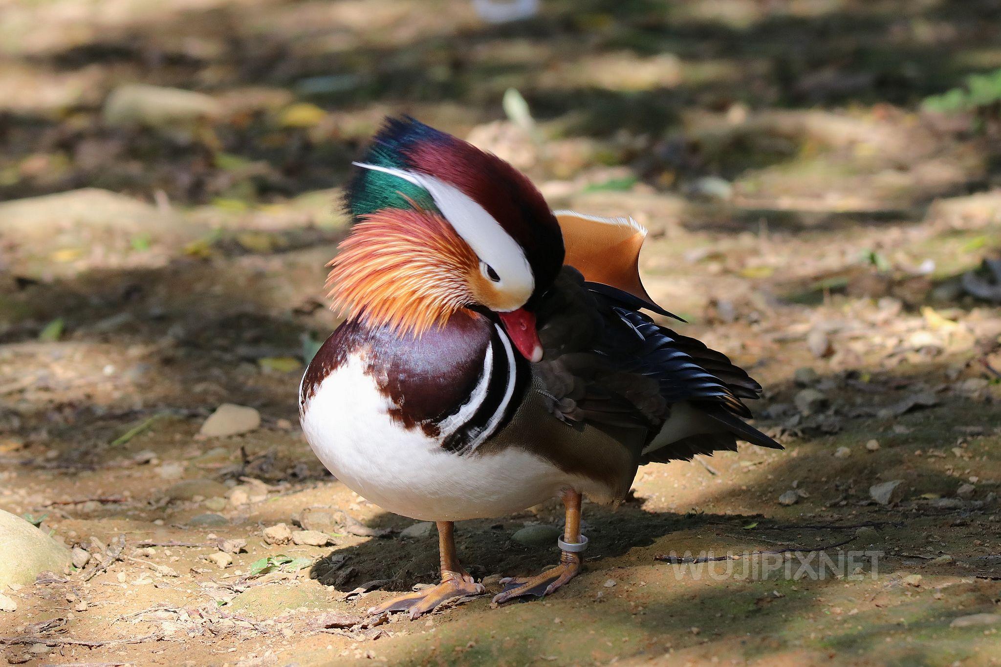 八德碑塘生態公園的鴛鴦