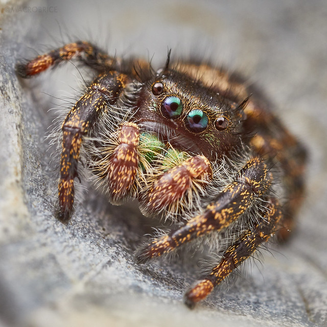 My pet P  audax jumping spider | Canon Rumors