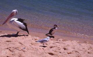 Size range. Gull, cormorant, pelican. Shark Bay. December 1990. Caption. Christmas Down Under Beach Party