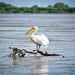 Pelecanus onocrotalus Danube Delta Romania