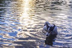 El perro del agua