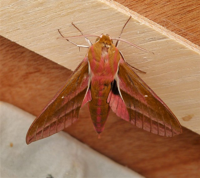 Header of deilephila