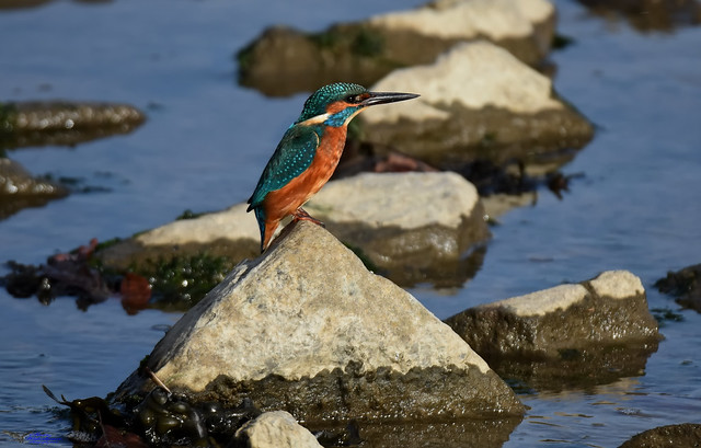 Kingfisher (rock hopping).