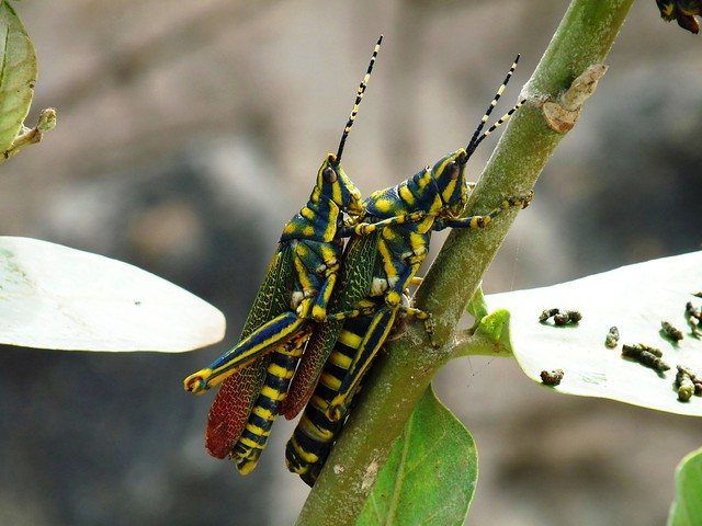Painted Grasshopper (Indian) - coupling - my backyard