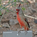 Pyrrhuloxia on Sign