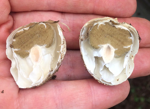 Mushroom - Common Stinkhorn