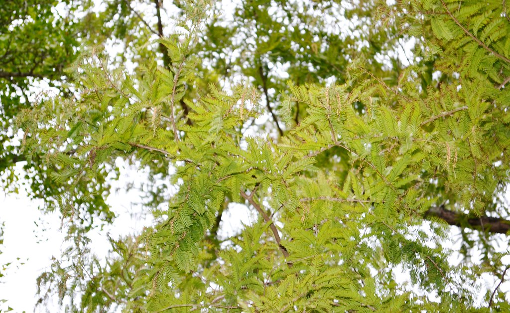 Metasequoia glyptostroboides --  Dawn Redwood Tree from China 0419