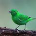 Glistening-green Tanager - Reserva Amagusa, Ecuador