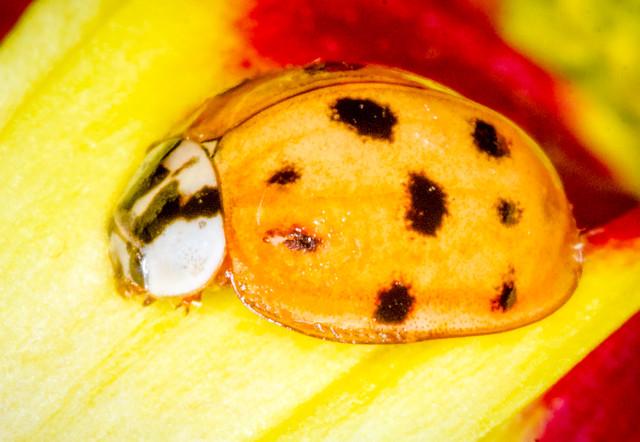 Late Ladybug