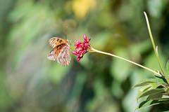Orange Butterfly on Red Flowers - Original