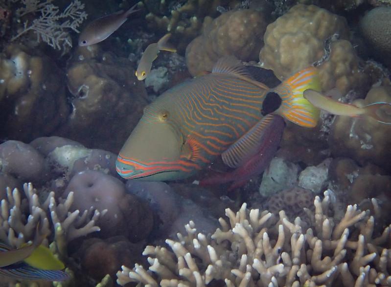 2017-11-09 05.11.20_Orange-Lined Triggerfish_Оранжевополосый спинорог