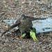 IMG_3438 Sparrowhawk & Parakeet