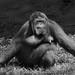 <p><a href=&quot;http://www.flickr.com/people/140820502@N08/&quot;>exploreslk</a> posted a photo:</p>&#xA;&#xA;<p><a href=&quot;http://www.flickr.com/photos/140820502@N08/38119461615/&quot; title=&quot;Orangutan 1&quot;><img src=&quot;http://farm5.staticflickr.com/4515/38119461615_4ee0c04920_m.jpg&quot; width=&quot;240&quot; height=&quot;160&quot; alt=&quot;Orangutan 1&quot; /></a></p>&#xA;&#xA;<p>Click to read more on <a href=&quot;http://exploreslk.com/dehiwala-zoo/&quot; rel=&quot;nofollow&quot;>Dehiwala Zoo</a>. <br />&#xA;<br />&#xA;Feel free to use this image, but give credits to <a href=&quot;http://exploreslk.com/&quot; rel=&quot;nofollow&quot;>exploreslk.com</a>.</p>