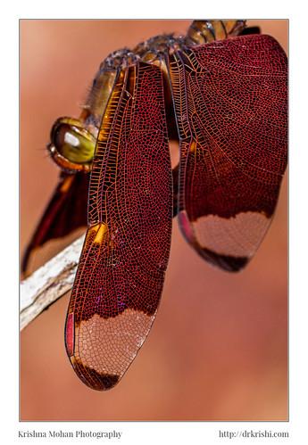 akruthi anisoptera arthropoda asia dakshinakannada dragonflies epiprocta fulvousforestskimmer india insecta karnataka libellulaapicalis moodabidri neurothemis neurothemisfulvia odonata polyneurasophronia dragonfly in