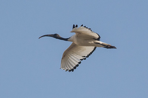 African Sacred Ibis  in flight.