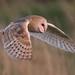 barn owl in flight by gemredding