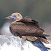 Red-footed Booby (Sula sula) San Mateo Co.,CA., 11-18-2017 by Todd Easterla