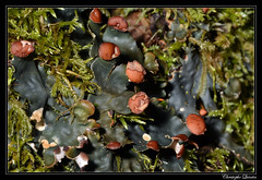 Peltigera horizontalis - Photo of Champagny