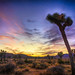 Sunset Collection.   Joshua Tree National Park.