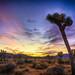 Sunset Collection.   Joshua Tree National Park.