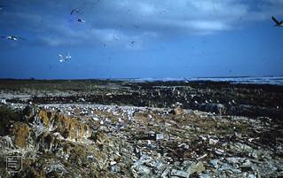 Swift tern colony on beach. Robben Island