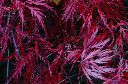 Deeply-indented acer leaves, Castle Grounds, Bridgnorth