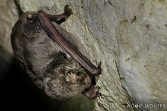 Koba saguzarra / Murciélago de cueva / Miniopterus schreibersii