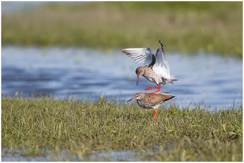 The mating of the Common Redshank - Paring van de Tureluur  (Tringa totanus) ...