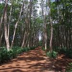 Falcataria moluccana plantation
