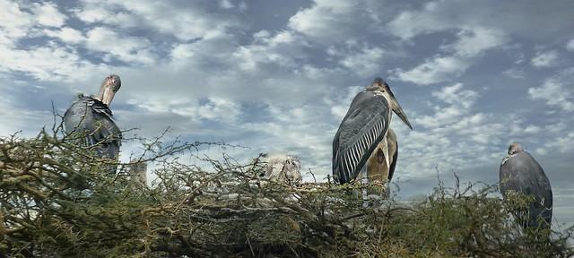 nesting storks of nairobi