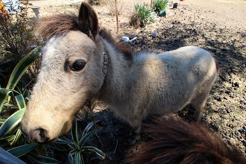 Birriwa Pony