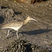 Curlew in the mud