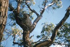 Young male koala in Eucalyptus viminalis. Phillip Island