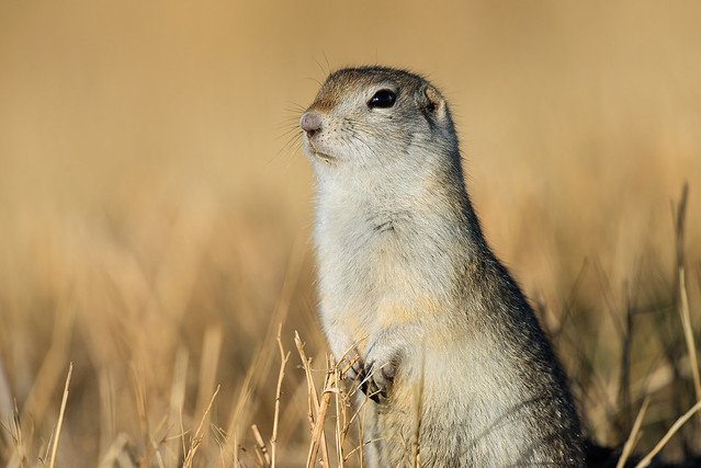 1711_3004 Richardson's Ground Squirrel