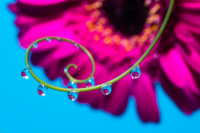 Pink gerbera refraction