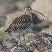 Wind Ruffled Curlew