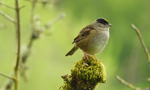 Golden-crowned Sparrow in the mist