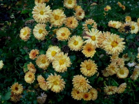 Lietzenseepark im November - Chrysanthemen