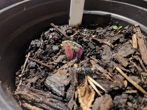 coffee bean seedling