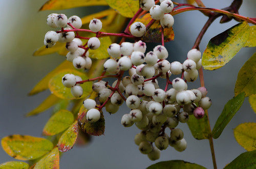 White berries, rowan, Bridgnorth