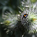 Pine Ladybird