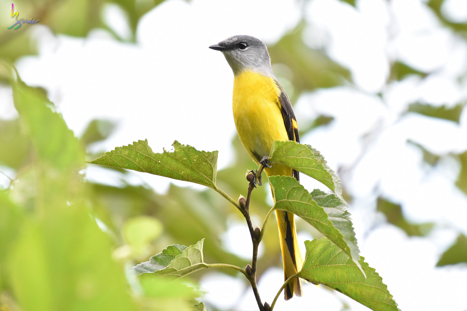 Grey-chinned_Minivet_9635